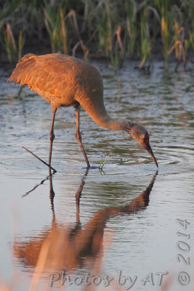 Sandhill Crane <br /> Squaw Creek National Wildlife Refuge
