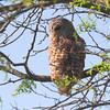 Barred Owl <br /> Squaw Creek National Wildlife Refuge <br /> 5/15/14