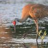 Sandhill Crane <br /> Squaw Creek National Wildlife Refuge <br /> 5/15/14