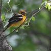 Baltimore Oriole <br /> Squaw Creek National Wildlife Refuge