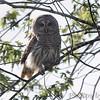 Barred Owl <br /> Squaw Creek National Wildlife Refuge <br /> 5/16/14