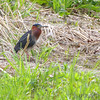 Green Heron <br /> Squaw Creek National Wildlife Refuge