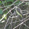 Yellow-bellied Flycatcher <br /> Columbia Bottom Conservation Area