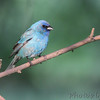 Indigo Bunting <br /> Columbia Bottoms Conservation Area