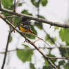 Baltimore Oriole  <br /> Columbia Bottoms Conservation Area