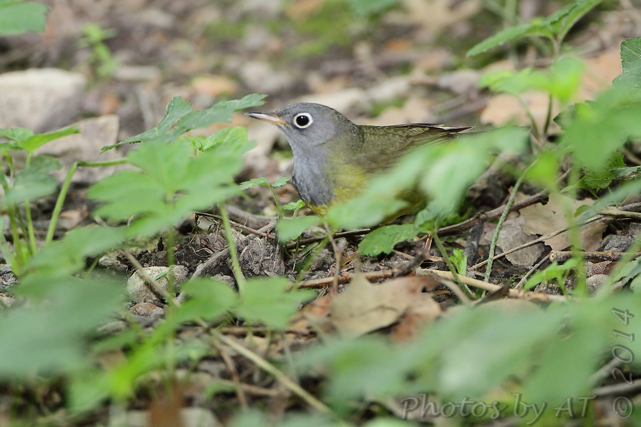 Connecticut Warbler <br /> Tower Grove Park <br /> St. Louis, MO