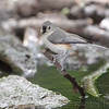 Tufted Titmouse <br /> Tower Grove Park <br /> St. Louis, MO