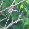 Eastern Wood-Pewee <br /> Columbia Bottom Conservation Area
