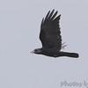 Crow sp. <br /> Busch Wildlife Conservation Area