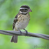 Rose-breasted Grosbeak <br /> City of Bridgeton <br /> St. Louis County, Missouri <br /> 5/11/14