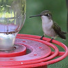 Ruby-throated Hummingbird <br /> City of Bridgeton <br /> St. Louis County, Missouri <br /> 5/28/14