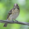 Rose-breasted Grosbeak <br /> Bridgeton, MO <br /> 5/11/14