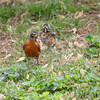 American Robin and fledgling <br /> City of Bridgeton <br /> St. Louis County, Missouri <br /> 5/07/14