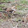 Snow Bunting <br /> Teal Pond <br /> Riverlands Migratory Bird Sanctuary