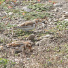 Snow Buntings <br /> Teal Pond <br /> Riverlands Migratory Bird Sanctuary