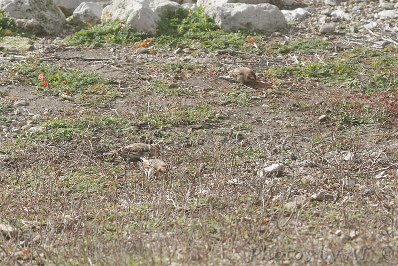 Snow Buntings <br /> Teal Pond <br /> Riverlands Migratory Bird Sanctuary