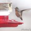 Calliope Hummingbird <br /> Ozark, Mo <br /> 11/15/14 3:17 pm