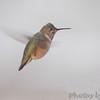 Calliope Hummingbird <br /> Ozark, Mo <br /> 11/15/14