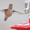 Calliope Hummingbird <br /> Ozark, Mo <br /> 11/15/14 3:15 pm