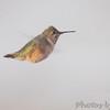 Calliope Hummingbird <br /> Ozark, Mo <br /> 11/15/14 2:58 pm