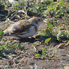 Snow Bunting <br /> Teal Pond <br /> Riverlands Migratory Bird Sanctuary