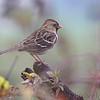 Harris's Sparrow <br /> Western Missouri <br /> 10/23/14