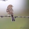 Vesper Sparrow <br /> Western Missouri <br /> 10/23/14