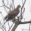 Red-tailed Hawk <br /> Western Missouri <br /> 10/23/14