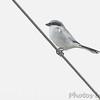 Loggerhead Shrike <br /> Western Missouri <br /> 10/23/14
