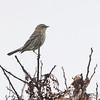 Yellow-rumped Warbler (Myrtle's) <br /> Western Missouri <br /> 10/23/14