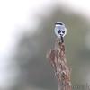 Loggerhead Shrike <br /> Just east of Lamar <br /> Western Missouri <br /> 10/22/14