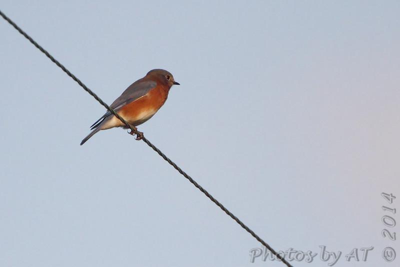 Eastern Bluebird <br /> Just east of Lamar <br /> Western Missouri <br /> 10/22/14