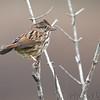 Unknown sparrow <br /> Western Missouri <br /> 10/23/14