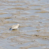 """Red Knot (juvenile) <br> Ellis Bay <br> Riverlands Migratory Bird Sanctuary <br> 2014-09-21<br><br> <span class=""""noShowSmart""""> <a href=""""/MyKeywords/Bird-Videos/n-gF9bt/i-2n2xZCQ/A""""> <span style=""""color:yellow"""">Click here to open video in lightbox/full screen</span></a> </span>  <span class=""""noShowGallery""""> <a href=""""/Birds/2014-Birding/Birding-2014-September/2014-09-21-RMBS-Red-Knot/i-2n2xZCQ/A""""> <span style=""""color:yellow"""">Click here to open video in lightbox/full screen</span></a> </span>"""