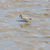"""Red Knot (juvenile) <br> Ellis Bay <br> Riverlands Migratory Bird Sanctuary <br> 2014-09-21<br><br> <span class=""""noShowSmart""""> <a href=""""/MyKeywords/Bird-Videos/n-gF9bt/i-7DwWHM6/A""""> <span style=""""color:yellow"""">Click here to open video in lightbox/full screen</span></a> </span>  <span class=""""noShowGallery""""> <a href=""""/Birds/2014-Birding/Birding-2014-September/2014-09-21-RMBS-Red-Knot/i-7DwWHM6/A""""> <span style=""""color:yellow"""">Click here to open video in lightbox/full screen</span></a> </span>"""