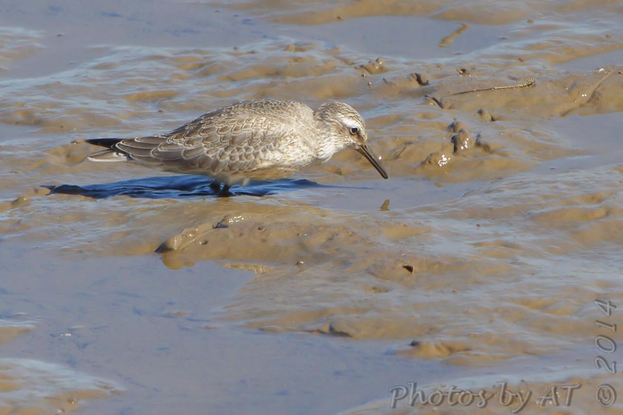 Red Knot (juvenile) <br /> Ellis Bay <br /> Riverlands Migratory Bird Sanctuary <br /> 9/21/14