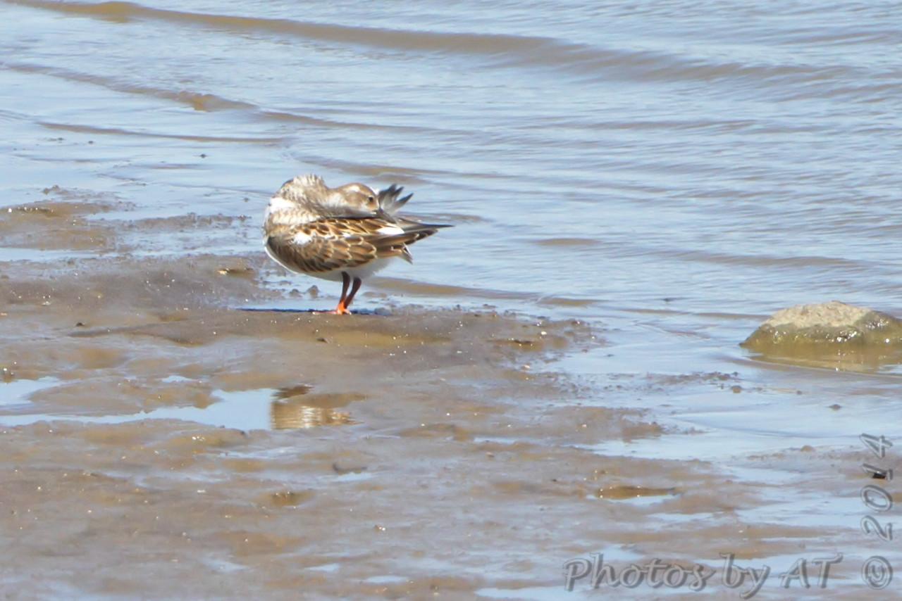 Ruddy Turnstone <br /> Ellis Bay <br /> Riverlands Migratory Bird Sanctuary <br /> 9/21/14