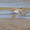 Baird's Sandpipers <br /> Ellis Bay <br /> Riverlands Migratory Bird Sanctuary <br /> 9/21/14