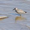 Red Knot (juvenile) <br /> Ellis Bay <br /> Riverlands Migratory Bird Sanctuary <br /> 9/21/14 <br /> <br /> No. 335 on my Lifetime List of Birds <br /> Photographed in Missouri