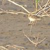 Buff-breasted Sandpiper <br /> Ellis Bay <br /> Riverlands Migratory Bird Sanctuary <br /> 9/20/14