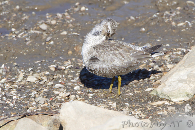 Red Knot (juvenile) <br /> Ellis Bay <br /> Riverlands Migratory Bird Sanctuary <br /> 9/21/14