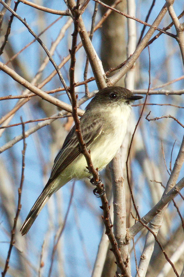 An eastern phoebe again.