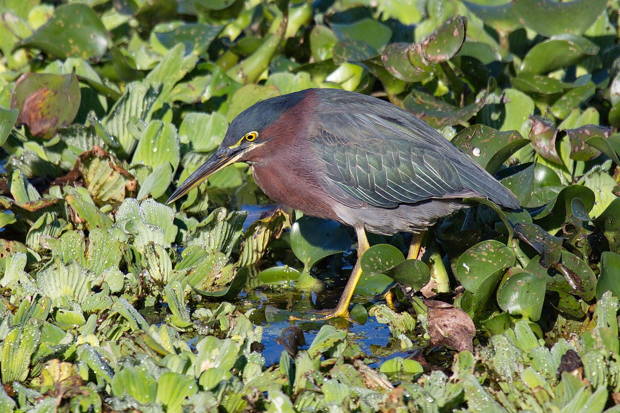 A very patient green heron awaits Mother Nature to deliver it breakfast.