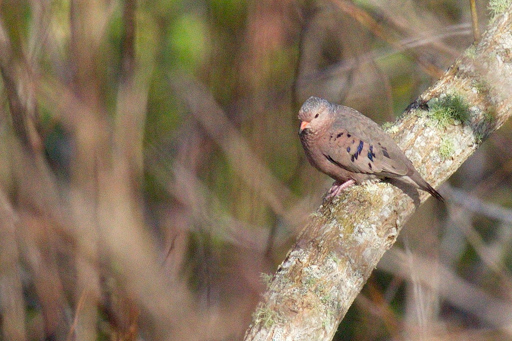 A ground dove, but on a tree trunk, not on the ground. Someone needs to tell it it's not a tree dove.