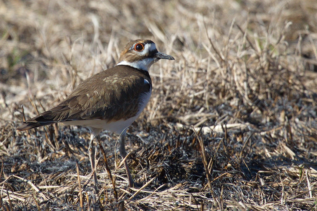 A killdeer standing near a burned patch of grass. Killdeer nest in the grass, so I hope the fire didn't harm its brood.