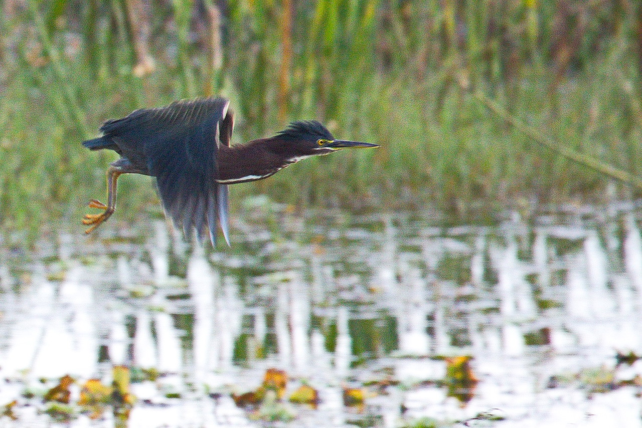 Green heron shortly after take-off.