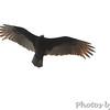 Turkey Vulture <br /> Raven Roost <br /> Blue Ridge Parkway, Virginia <br /> 4/03/15