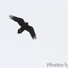 Common Raven <br /> Raven Roost <br /> Blue Ridge Parkway, Virginia <br /> 4/03/15