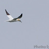 Northern Gannet <br /> Point Lookout State Park  <br /> St. Mary's County, Maryland <br /> 4/07/15