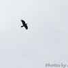 Common Raven <br /> Raven Roost <br /> Blue Ridge Parkway, Virginia <br /> 4/03/15